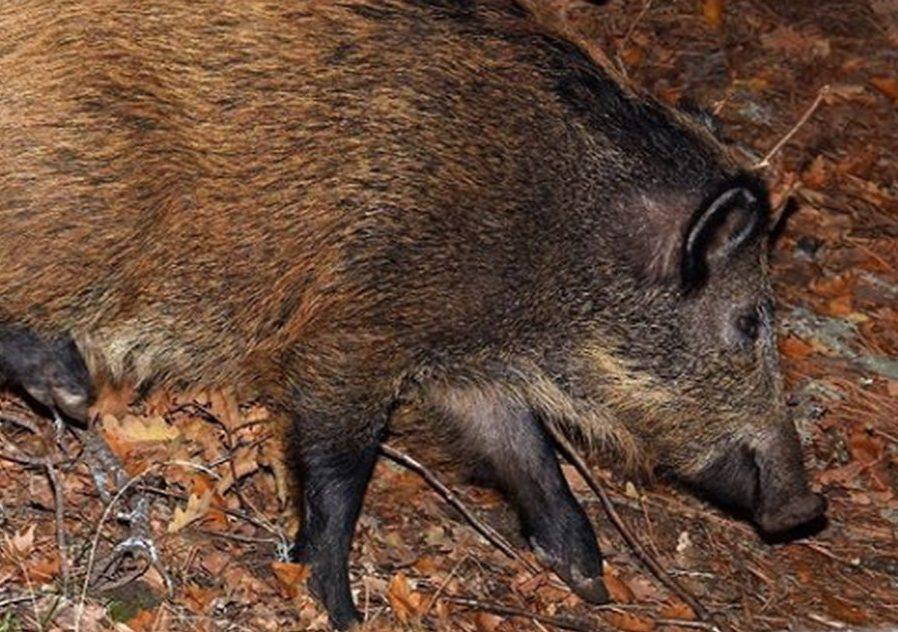 yaban domuzu, kızılcahamamda yaşayan canlılar