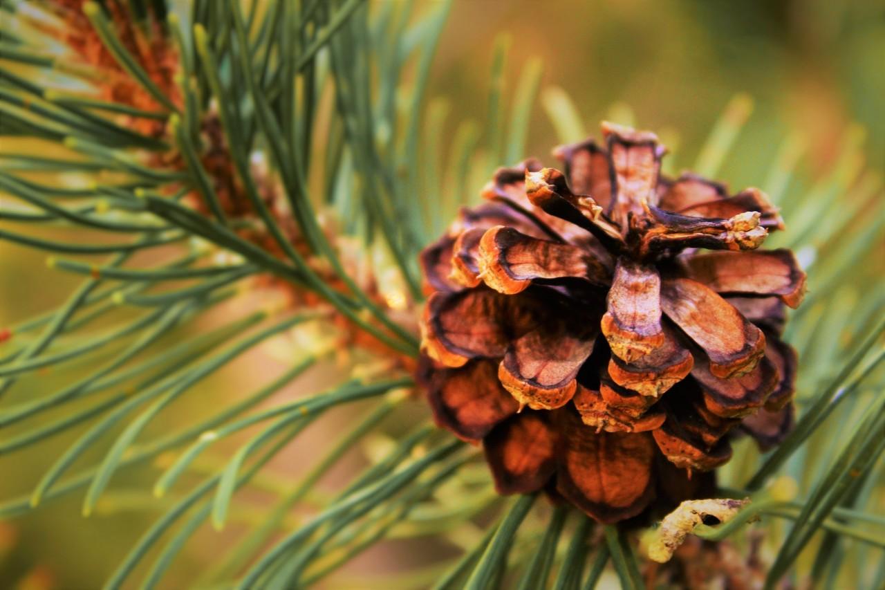çam ağacı türleri, çam ağacı üzerindeki bir kozalak