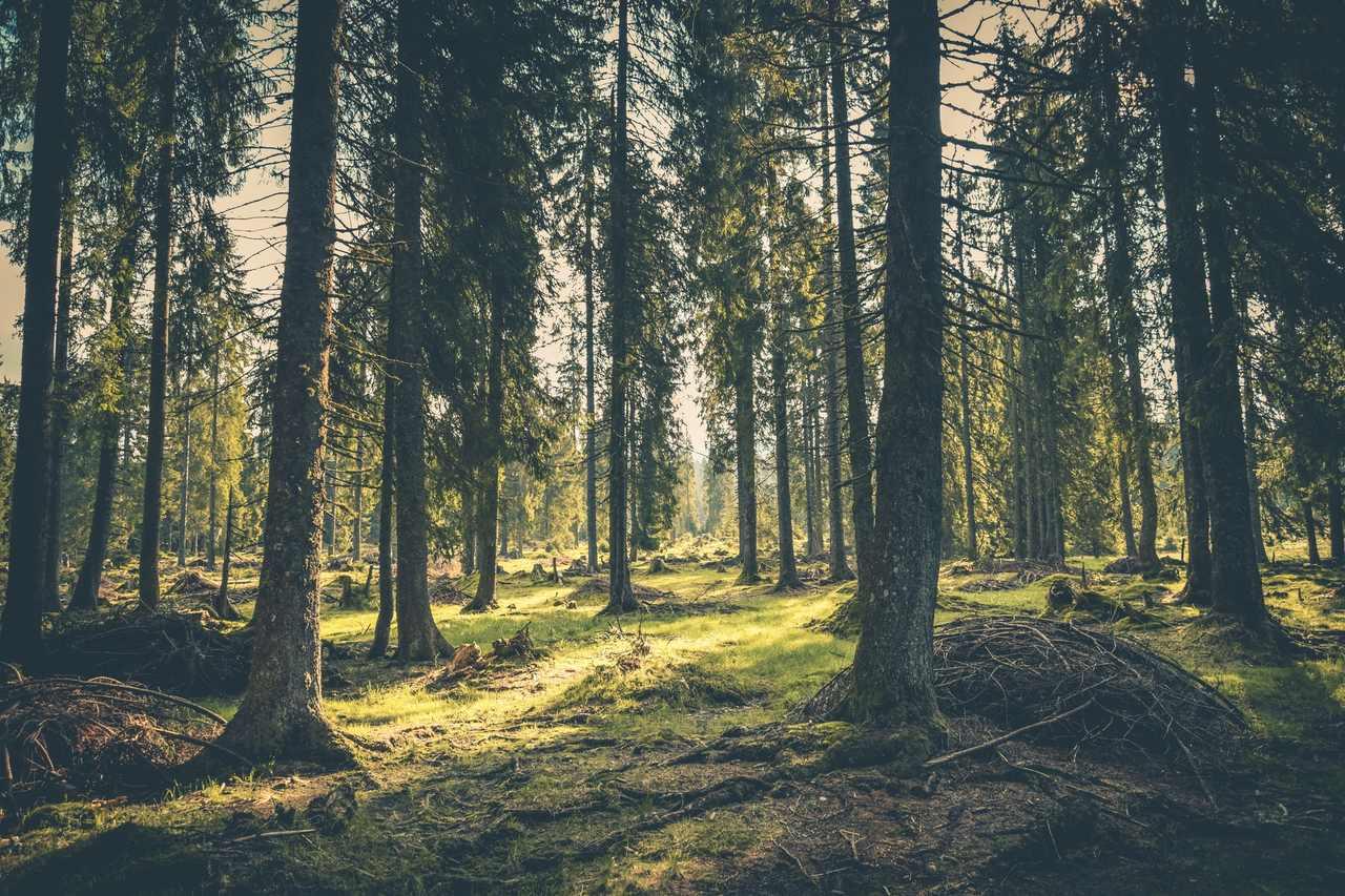 çam ağacı türleri, güneşin vuduğu çam ağacı ormanı