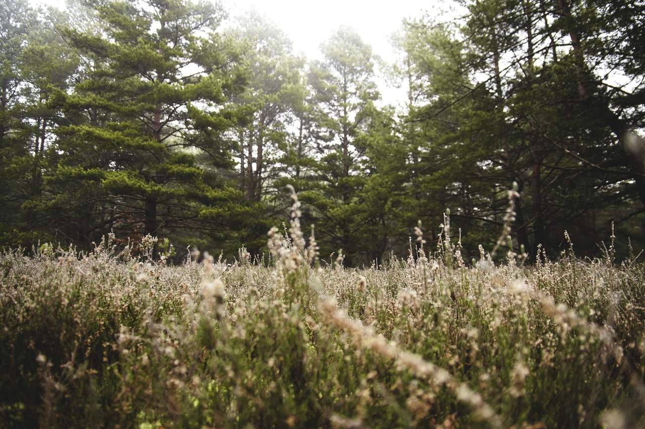 çam ağacı türleri, çam ağacı ormanı ve diğer bitkiler