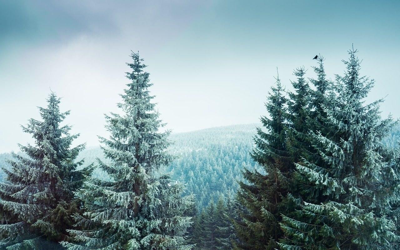 üzerine kar yağmış bir çam ormanı manzarası