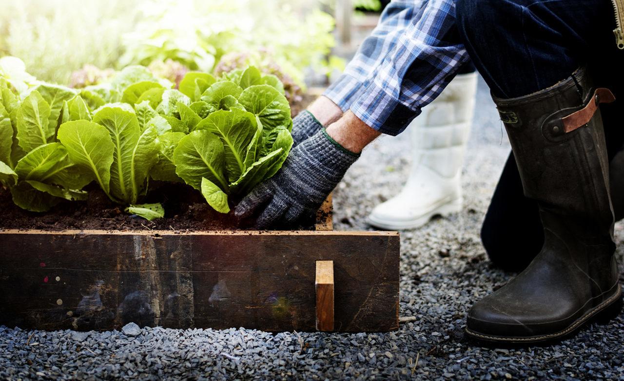 bahçecilik hobisi ile marul yetiştiren kişi