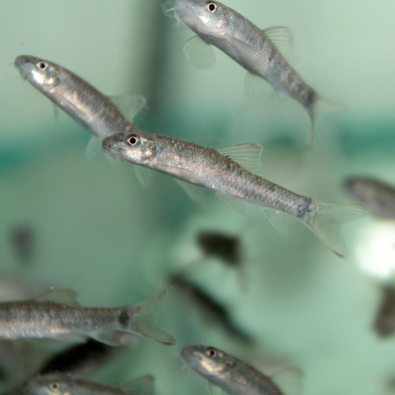 garra rufa, doktor balıklar
