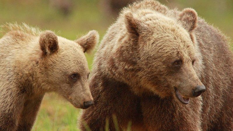 bears, ayılar doğa belgeseli